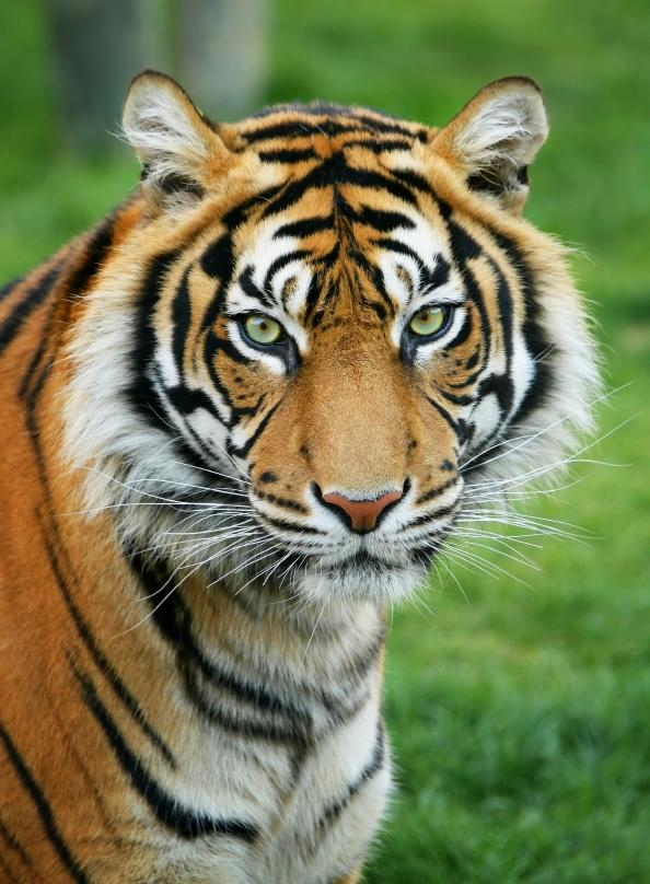 Tigers in serious trouble around the world including the - Images d animaux sauvages gratuites ...