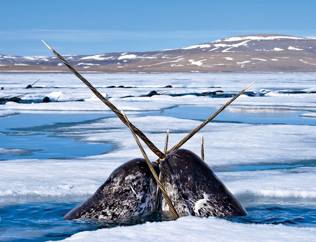 The world\'s weirdest whale: Hunt for the sea unicorn – life – 17 ...